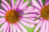 Coneflower, Echinacea purpurea — Stock Photo