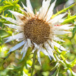 Carline thistle — Stock Photo #30018513