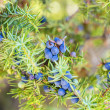 Stock Photo: Juniper berries