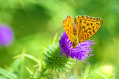 Silver-washed fritillary,Argynnis paphia — Photo