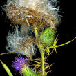 Woolly thistle, Cirsium eriophorum — Stock Photo