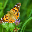 Painted lady,  Cynthia cardui — Stock Photo