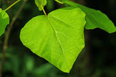 Chinese medicine tree Catalpa — Stock Photo