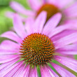 Cone flower, Echinacea purpurea — Stock Photo #30752221