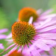 Cone flower, Echinacea purpurea — Stock Photo #30752247