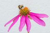 Cone flower, Echinacea purpurea — Stock Photo