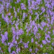 Heather, Calluna vulgaris — Stock Photo