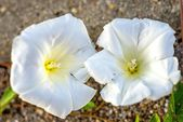 Bind-weed flowers — Stock Photo