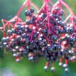 Stock Photo: Elder berries