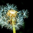 Dandelion seeds — Stock Photo #32075783