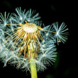 Dandelion seeds — Stock Photo