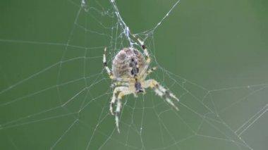 Garden spider — Stock Video