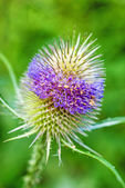 Blooming teasel, old tool of the weavers — Stock fotografie