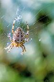 Garden spider, Araneus diadematus — Stock Photo