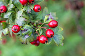 Hawthorn fruits — Stock fotografie