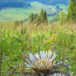 Carline thistle on SwabiAlb — Stock Photo #32471843
