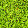 Thuja hedge — Stock Photo