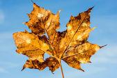 Alte ahornblatt mit rissen und löchern auf einen blauen himmel — Stockfoto