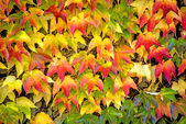Autumnal painted leaves — Stock Photo