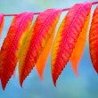 Ash tree with autumnal painted leaves — Stockfoto