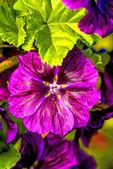 Mallow, medicinale plant — Stockfoto