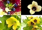 Black and yellow henbane, medieval medicine plant — Stockfoto