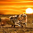 Stock Photo: Collie dogs playing during sunset
