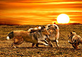 Collie dogs playing during sunset — Stock Photo