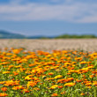 Calendula — Stock Photo #35234919