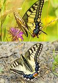 Swallowtail butterfly, Papilio machaon — Stock Photo