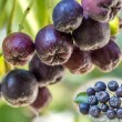 Black choke berry — Stock Photo #35870481