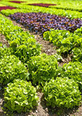 Salad cultivation — Stock Photo