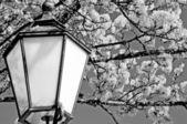 Acero di norvegia in fiore con lanterna — Foto Stock