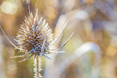 Teasel with ice crystals — Stock Photo