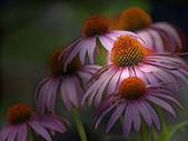 Coneflower, Echinacea purpurea — Stock Photo