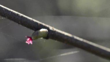 Hazelnut bloom — Stock Video