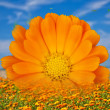 Calendula — Stock Photo #38659369