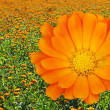 Calendula — Stock Photo #38659417