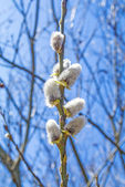 Willow blossom — Stock Photo