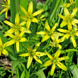 Stock Photo: Star of Bethlehem