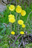 Coughwort, medicinal plant — Stock Photo