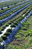 Strawberry cultivation — Stockfoto