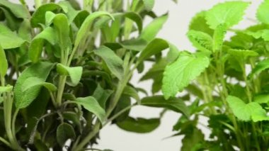 Herbs of Italy, sage, balm, thyme, majoram — Stock Video