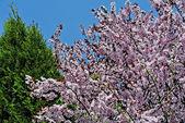 Fleurs de cerisier japonais — Photo