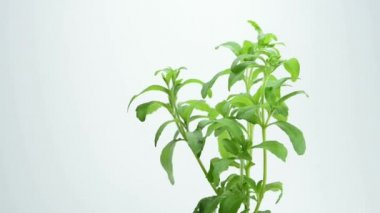 Stevia rebaudiana the herbal support — Stock Video