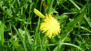 Brimstone butterfly on dandelion flower — Stock Video