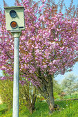 Speed check with Japanese cherry blossom — Stock Photo
