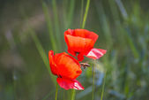 Poppy — Foto Stock