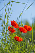 Poppies in a meadow with a blue sky — Stock Photo