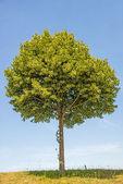 Lime-tree blossom — Stock Photo